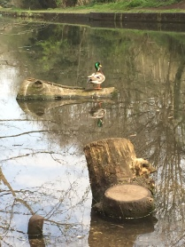Mallard duck resting on log