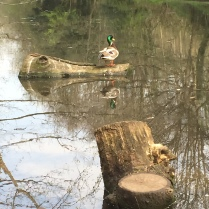 Mallard duck resting on log