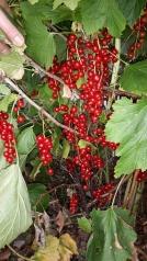 redcurrants galore