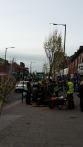 Trees being planted Acocks Green Nov 15