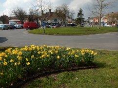 Daffodils on Pigeon Island