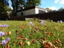 What a delight -Autumn crocus appear at St Marys