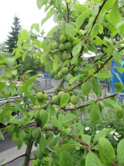 plums ripening