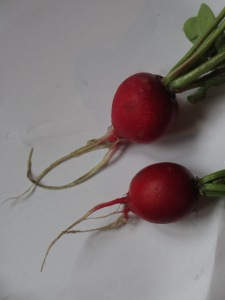 The first produce to be enjoyed. Tasty radishes!