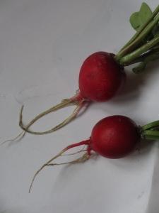 The first produce to be enjoyed. Tasty radishes!