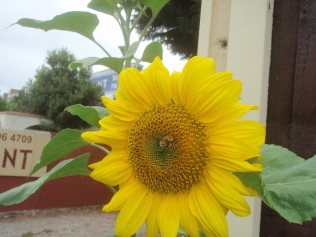 Sunflowers grown from seed by Robin