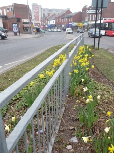 At last! Spring has sprung. Daffodils planted by volunteers in AG