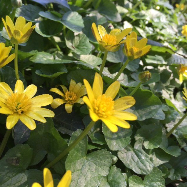 Spring flowers: Lesser Celandine
