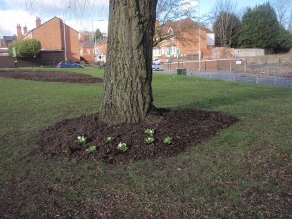 Primula planting