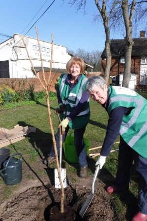 Veronica and Fran planting the flowering cherry tree.